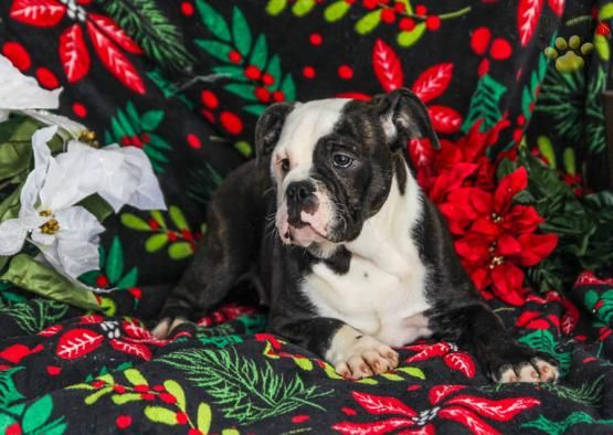 Zoe English Bulldog Hybrid Puppy For Sale In Mifflintown Pa