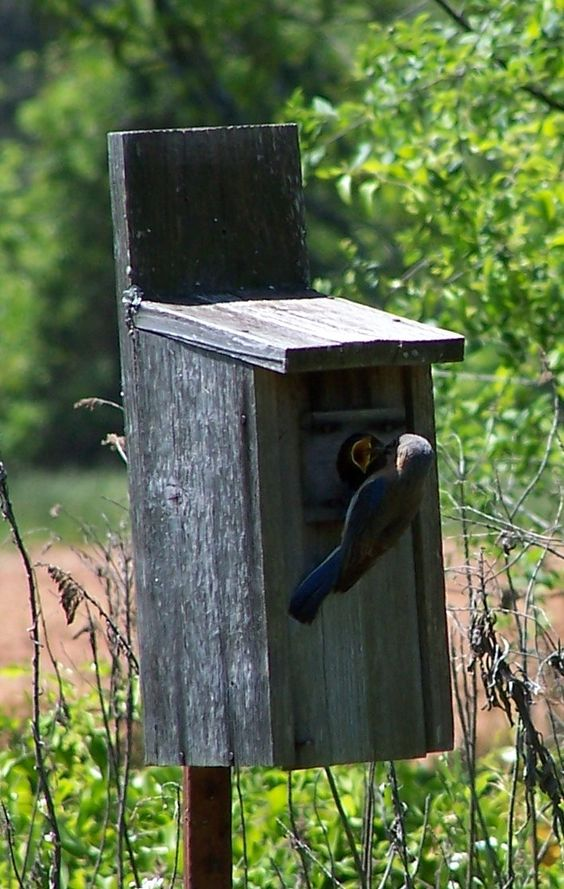 Moma bluebird feeding babies