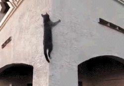 cutsycats:  Just a cat climbing a wall.