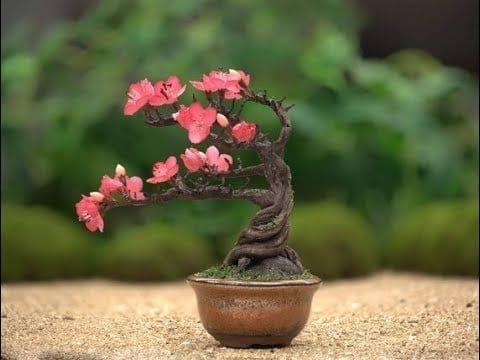 Cherry Blossom Bonsai Tree Care Guide Prunus Serrulata Bonsai Tree Gardener Cherry Blossom Bonsai Tree Bonsai Tree Types Bonsai Tree Care