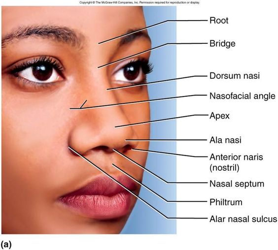 Nose external anatomy