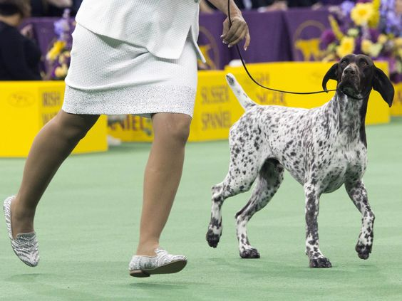 CJ, a German shorthaired pointer, is shown in the ring during the sporting group competition at the 140th Westminster Kennel Club dog show in New York. CJ won Best in Show.  Mary Altaffer, AP