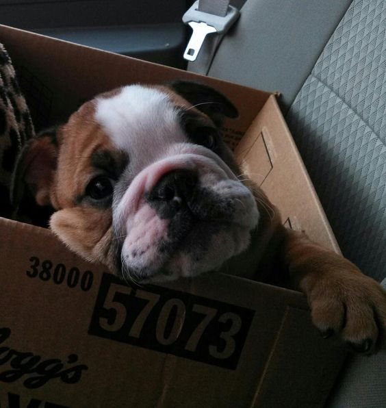 """❤ """"Does this box make me look like a Boxer?"""" ❤ Posted on I love English Bulldogs"""