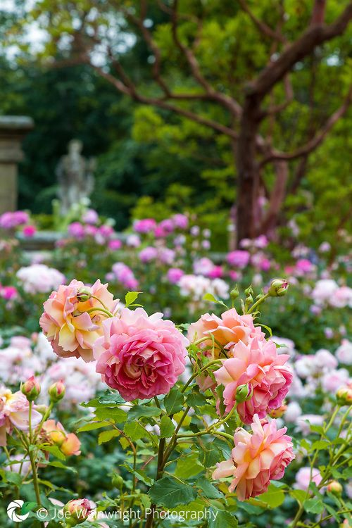 Fragrant Roses Flowering In Abundance On The Rose Terrace