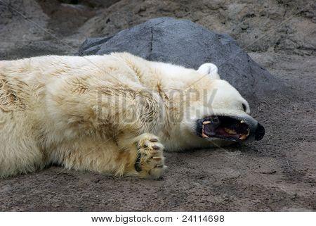 a yawning polar bear