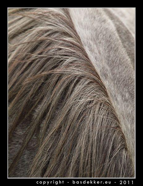Grijze welsh pony