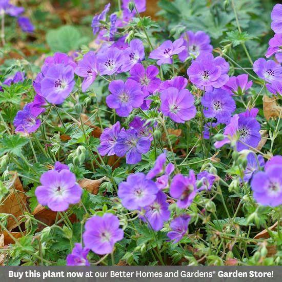 2008: 'Rozanne' Geranium: Gardening Ideas, Flowers Plants, Perennial Flowers, Garden Flowers, Garden Plants