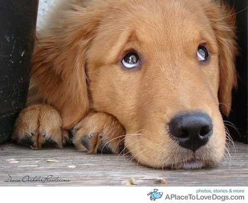 Golden Retreiver...soooo cute!