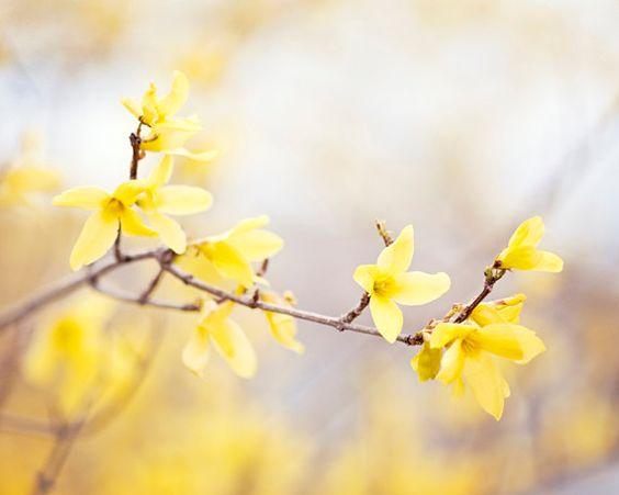 Forsythia Photography yellow nursery wall art por CarolynCochrane