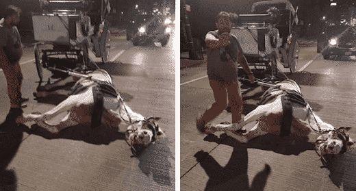 Norman, un cheval d'attelage, s'est effondré sur le sol de New-York. Un homme a pris les photos pour alerter les associations locales et la police de NYC.