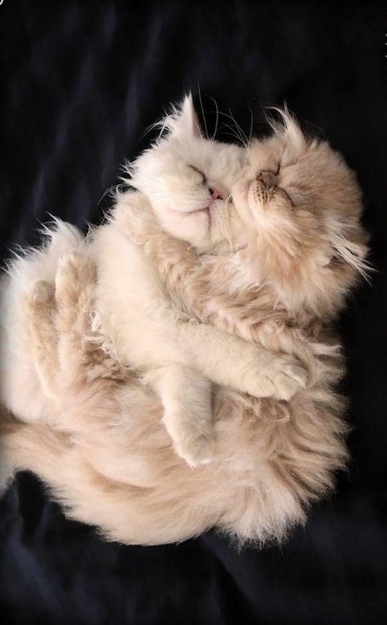 IT'S A FLUFFY HUG, love, cute, nuttet, nuser, adorable, cat, kittens, katte, hugging, photo.