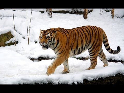 Siberian Tiger Documetary Hq 720p Youtube Siberian Tiger Tiger Walking Tiger