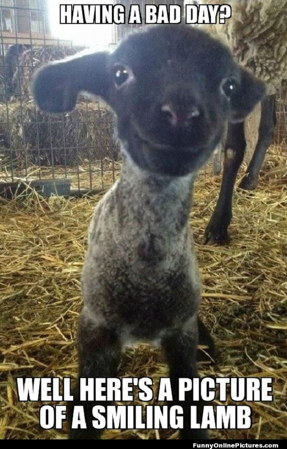 weird farm animals meme | Funny meme picture of a smiling lamb that is sure to cheer you up if ...