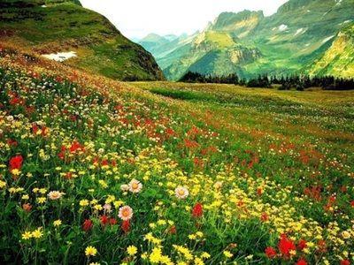 Imagini Cu Flori De Camp Macul Poze Cu Flori Hd Plante Casa Gradina Apartament Decoratiuni Ornamental Glacier National Park Wild Flowers Glacier Park Montana