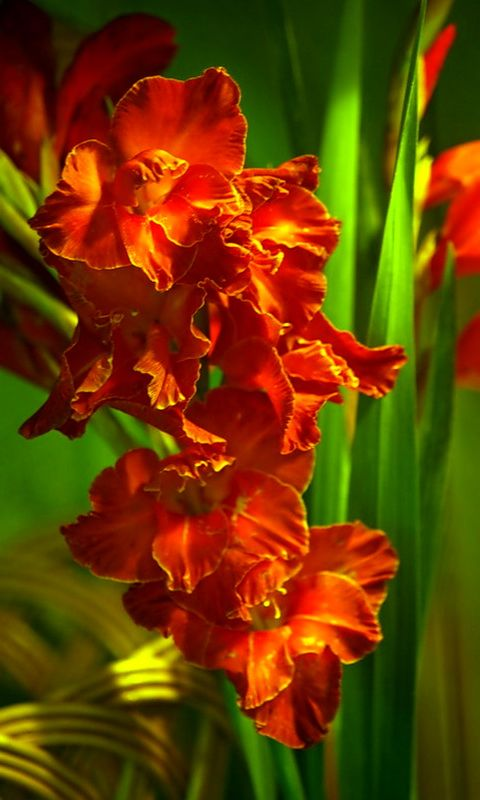 Download 480x800 Cvety Cell Phone Wallpaper Category Flowers Cellphone Wallpaper Gladiolus Flower Phone Wallpaper