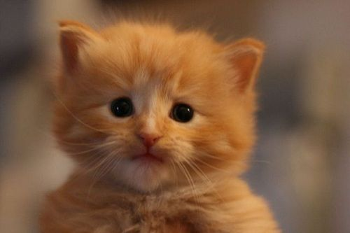 http://ingat.info/wp-content/uploads/2013/10/fluffy-orange-kitten---cute-and-funny-kitten-pictures-yi4obswo.jpg