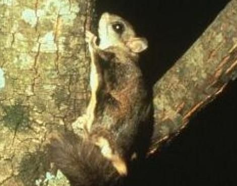 Rare Woolly Flying Squirrel