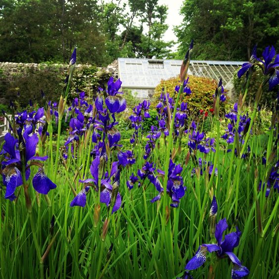 Siberian Iris at Dunvegan Castle gardens.
