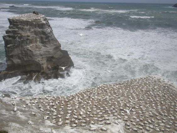 The awe-inspiring sight of thousands of gannets at Otakamiro Point, just one of many great things to see when you're in Auckland. --> http://bit.ly/GNZjAu