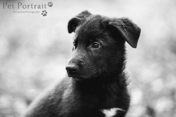 Zwarte Duitse Herder pup - Wolf