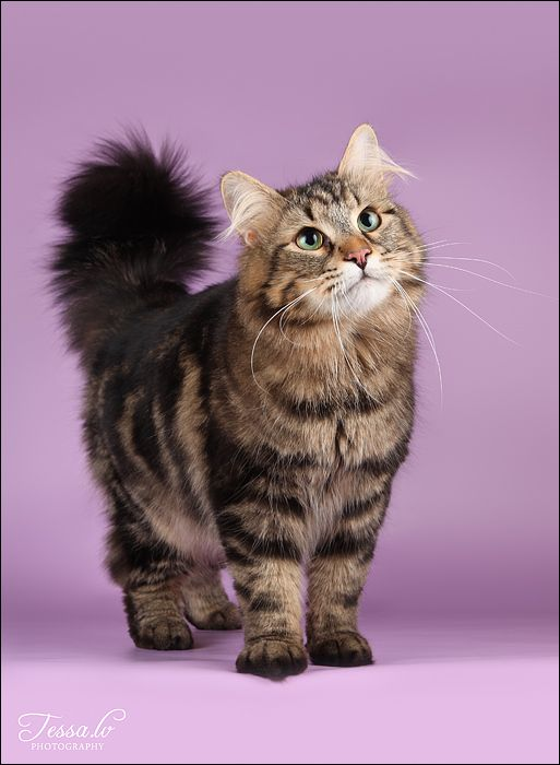 Siberian cat, Cats and Kitty on Pinterest