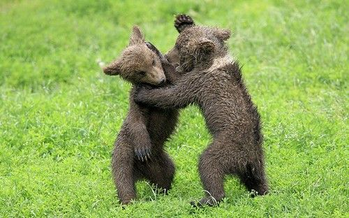 Funny Wildlife, Brown Bear cubs playfighting in Tripsdrill Park,...