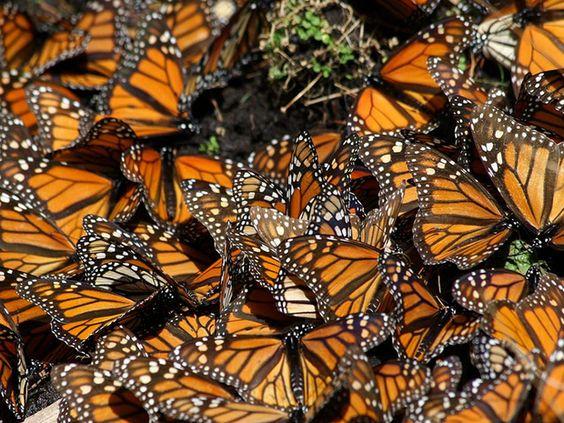 Galerias de Fotos: Borboletas-monarcas - Terra Selvagem