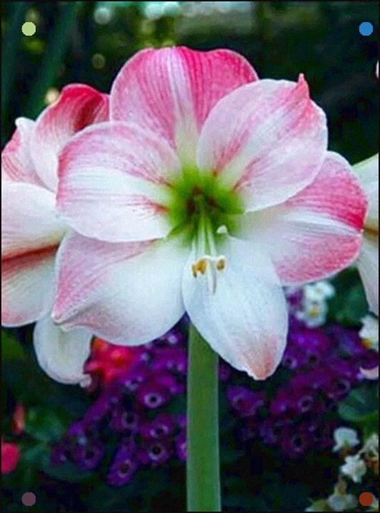 Amaryllis This Is A Symbol Of Success After Hard Struggles These Are Also Given To Someone For Doing A Gre In 2020 Amaryllis Flowers Beautiful Flowers Flower Pictures