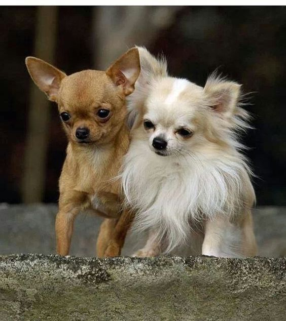 Double adorable ::: Long hair or smooth coat a Chihuahua is a