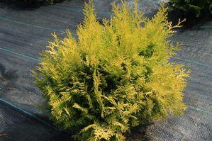 Chamaecyparis Night Light™ | Star® Roses and Plants | #PlantAStar
