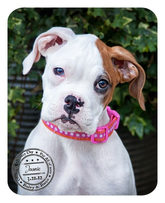 I will have me a boxer puppy soon!
