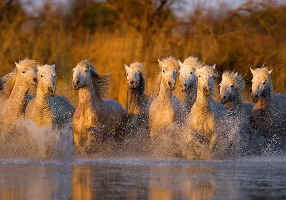 White horses of the Camargue, Provence, France