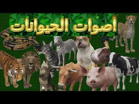 لأول مرة على اليوتيوب أصوات الحيوانات بالفيديو مجموعة كبيرة من اصوات حيوانات المزرعة Youtube Animals Cow