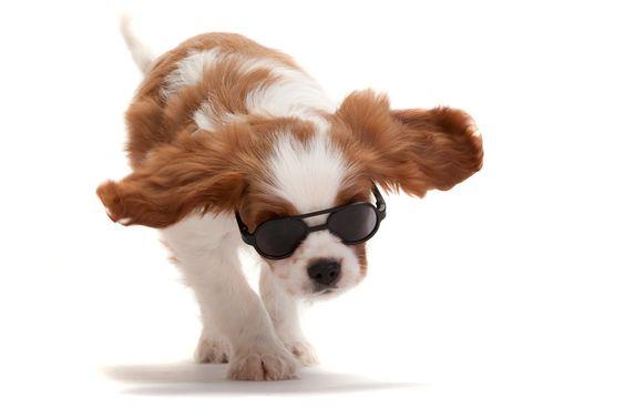 Cavalier King Charles Spaniel Puppy in shades