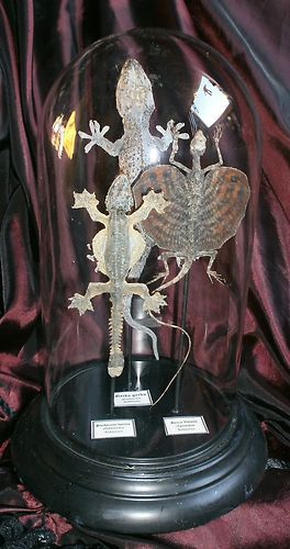 Cabinet de curiosités globe lézard taxidermie reptile Gecko draco volans