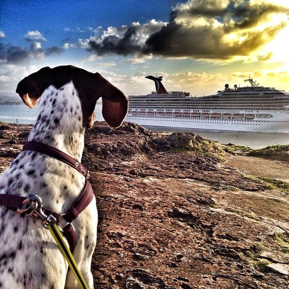 Mama, what is THAT? #focus #explore #perfectsunset #oldsanjuan #elmorro #cruiseship #sanjuanbay #puertorico #oldsanjuan #hudsoninpuertorico #gsp #gsp2day #gspofinstagram #germanshorthairedpointer #puppy #puppiesofinstagram #instapuppy #dogsofinstagram #dog #instadog #rescuedogsofinstagram #jj_justdogs #birddogoftheday