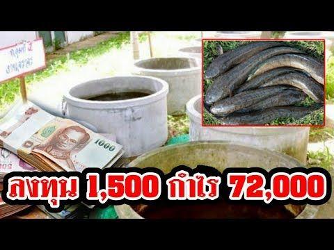 ว ธ เล ยง ปลาช อนในบ อซ เมนต เล ยงง าย กำไรด ทำเป นอาช พเสร ม สร างรายได 72 000 บาท Youtube