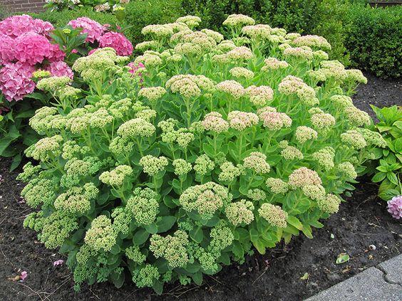 Fetthenne Staude Sedum telephium Pflanze Fette Henne Herbstfreude Blume Purpur-Fetthenne Pflege Schnitt Vermehrung Standort