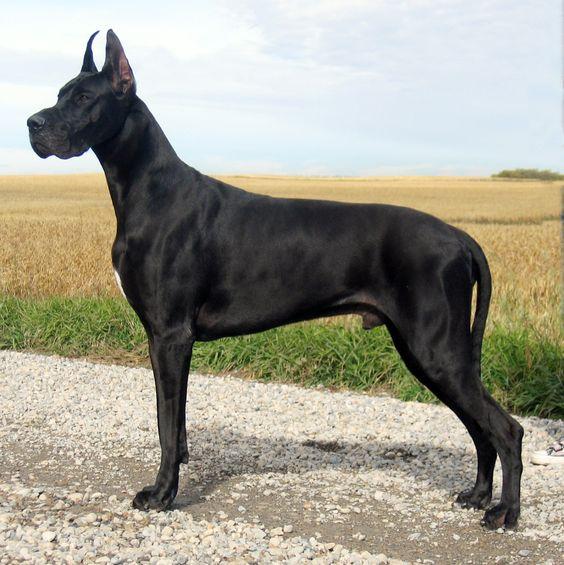 Gran Danés Negro negro azabache puro, permitiéndose marcas blancas en pecho y patas.