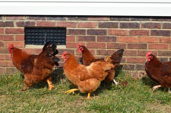 Sunny & Hens