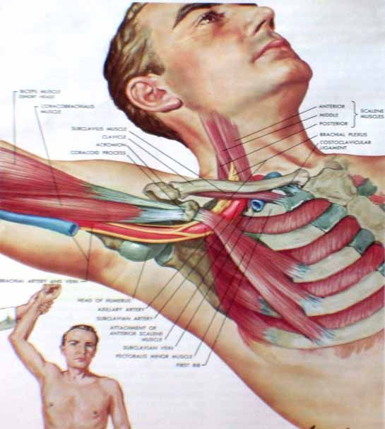 Thoracic outlet anatomy 3379204 - follow4more.info