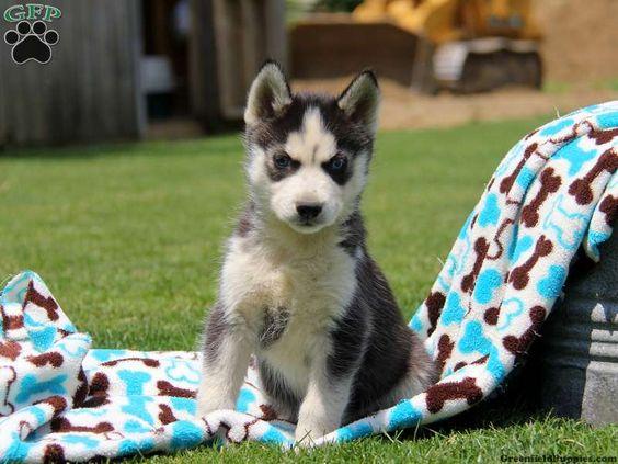 Duffy, Siberian Husky puppy DOB: 4/5/15 $550