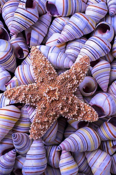Starfish resting on purple-striped shells
