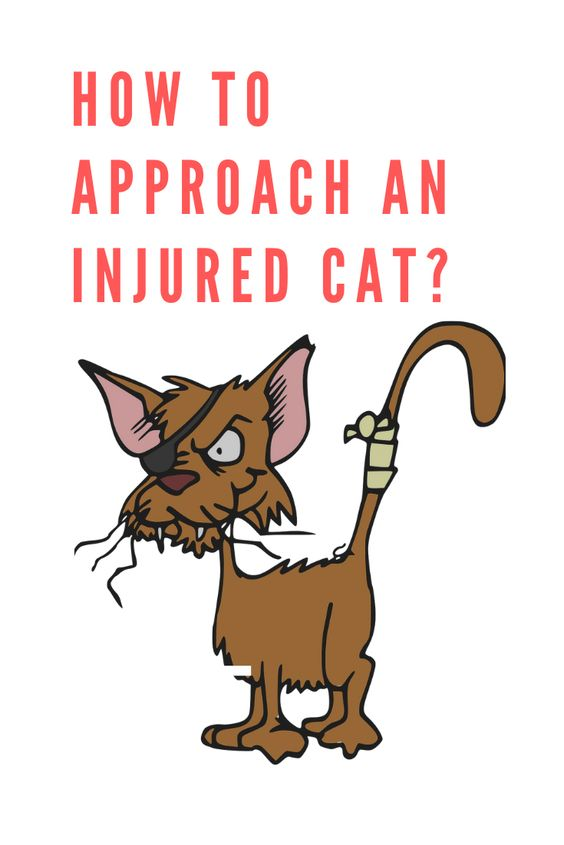 How To Approach An Injured Cat Cats Cat Diseases First Time