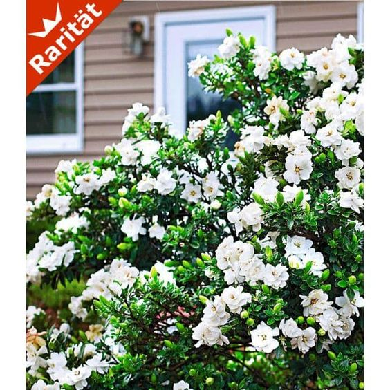 Duft-Gardenia 'Crown Jewel'
