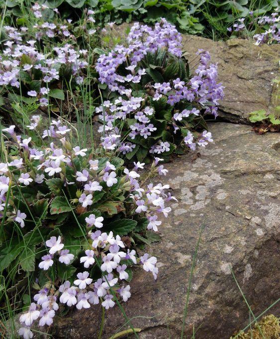 Die Rhodopen-Haberlea (Haberlea rhodopensis) ist wundervoll für dauerhaft frische Felsanlagen - aber nur in intensiv gepflegten Gärten.