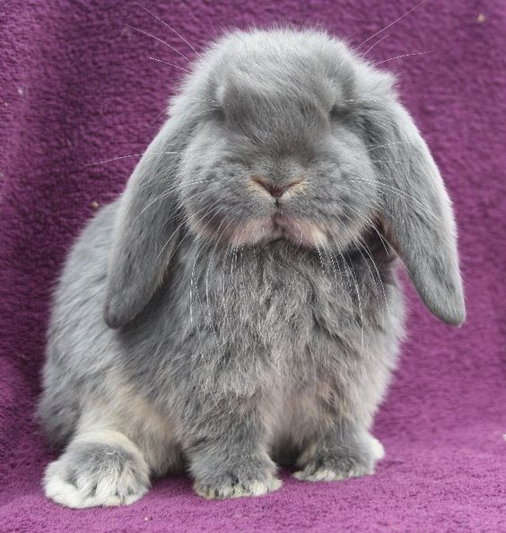 Mini Lop mini lion lop rabbits,mini lop information,mini - resume rabbit cost