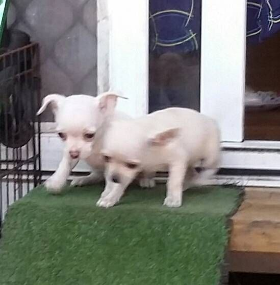 Short Hair Chihuahua Pups From 1000 To 1500 Each Chihuahua Dogs For Sale Pup