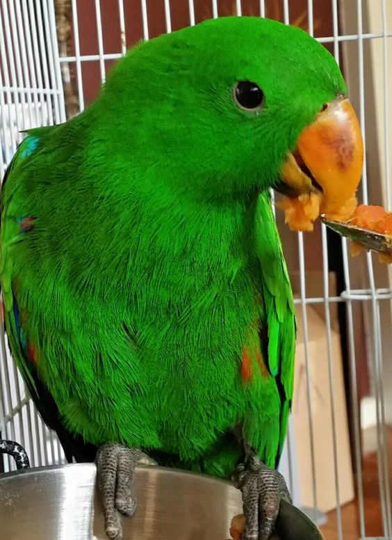 Eclectus Male Parrot Hand Raised eating mashed Sweet Potato and peas