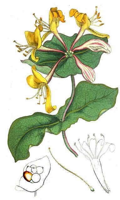 Propiedades de la madreselva lonicera caprifolium http - La madreselva ...